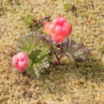 Die Moltebeere ist DIE Nationalpflanze in Norwegen