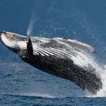 Ausgelassener Sprung eines ausgewachsenen Buckelwals
