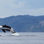 Ein seltener Anblick - der Orca in der Luft